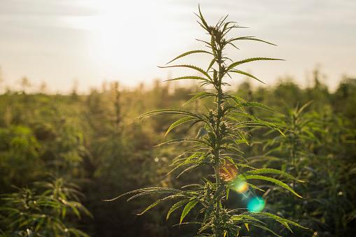世界で注目される大麻